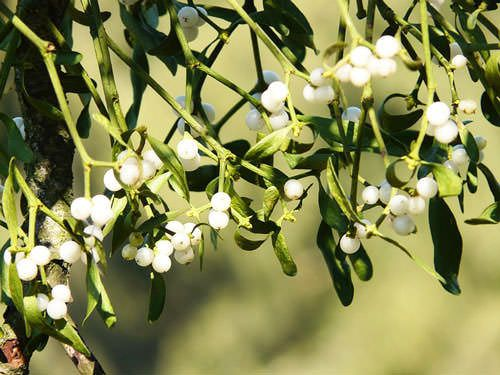 Christmas Plants - Mistletoe berries
