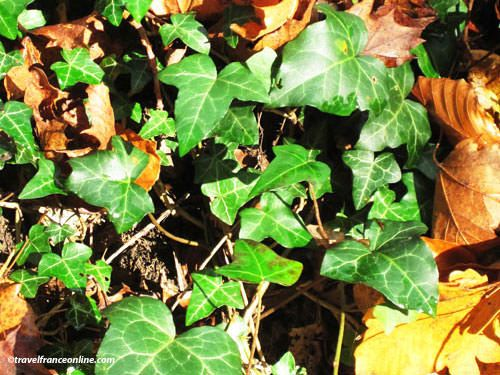 Christmas Plants - Ground Ivy