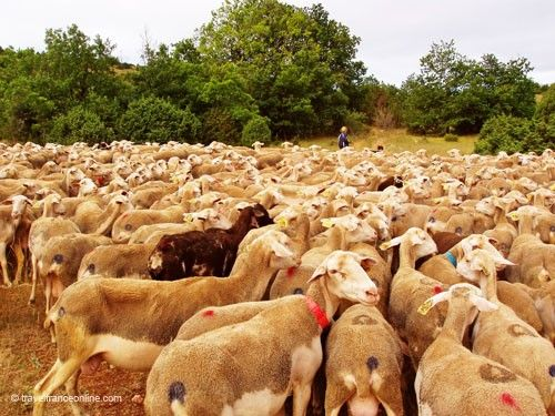 Lacaune ewes on their way to the high pastures