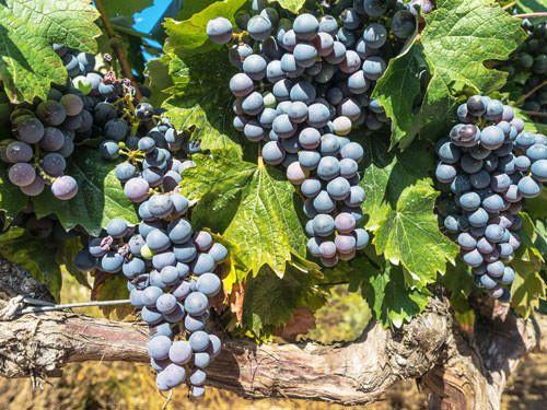 Merlot is used to produce Lalande de Pomerol wines