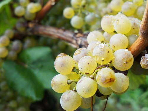 Sauvignon blanc is used to produce Sauternes wine