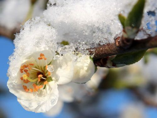 April Frost - Plum tree flower caught in frost and snow