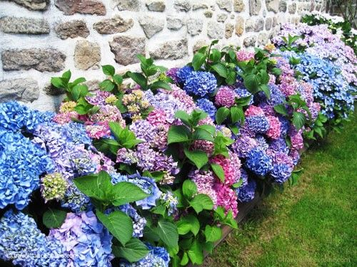Breton iconic images - Hydrangeas