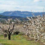 Cherry-trees and Dentelles de Montmirail near Venasque