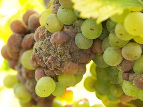 Anjou-Saumur Vineyard - Nobe rot - Botrytis cinerea