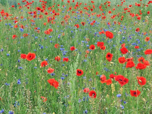 Chemin des Dames - Cornflower and poppy field in memory of Commonwealth and French soldiers