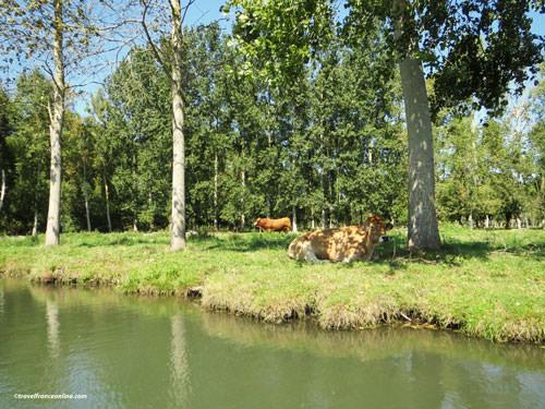 Animal rearing in the Poitevin Marsh