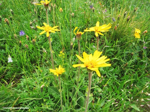 French Alps Flora - Arnica