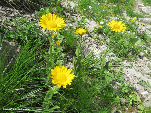 French Alps Flora - Doronic a grandes fleurs - Chamois grass