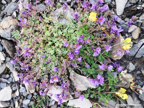 French Alps Flora - Linaire des Alpes - Alpine toadflax