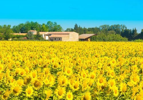 Sunflowers in Aquitaine