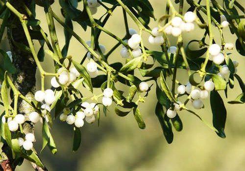 Christmas Plants - Mistletoe berries