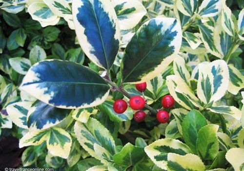 Christmas Plants - Holly with variegated leaves