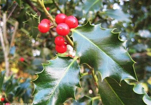 Christmas Plants - Holly berries