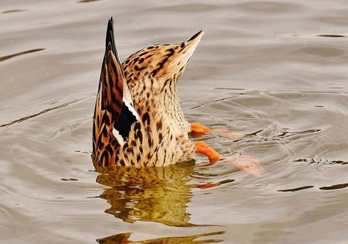 Feathered animals in French colloquialisms - diving duck