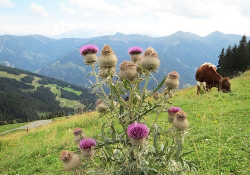 French Alps Flora - Cirse laineux - Wooly thistle