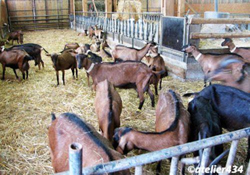 Goat Cheese farm