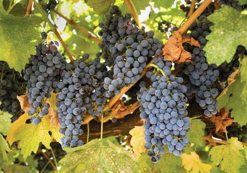 Gamay grape - Beaujolais Vineyard